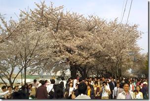 Blossom Festival 09
