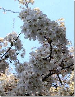 Tree in full Blossom 2