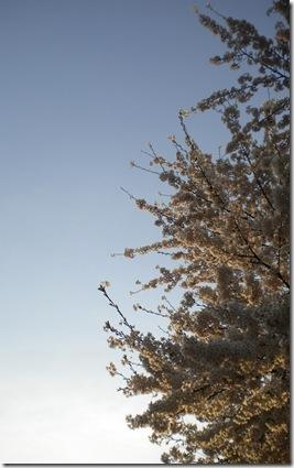 Tree in full Blossom